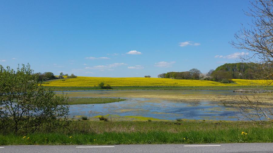 Rapsfält i full blom i Skåne