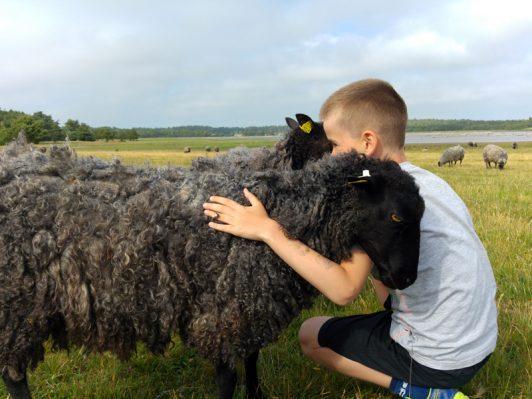 Gotlandsfår med pojke