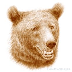 Swedish brown bear animal graphite pencil portrait