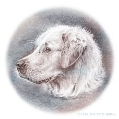Dog portrait pencil drawing of a golden retriever