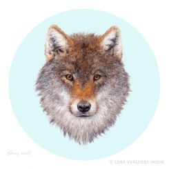 Animal drawing colour pencil and gouache of a swedish grey wolf round background