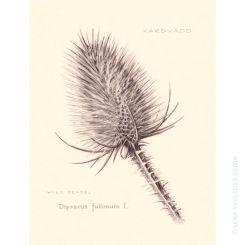 Pencil drawing of dry wild teasel botanical art Dipsacus fullonum L