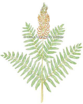 växt teckning av Safsa
