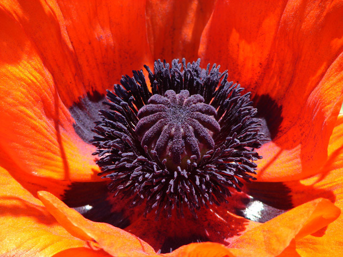 detail of red poppy flower