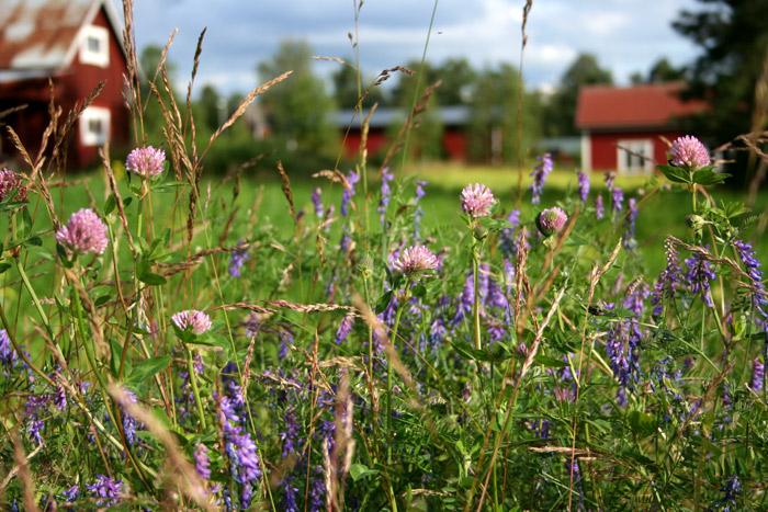 Faluröda stugor och sommarblomster