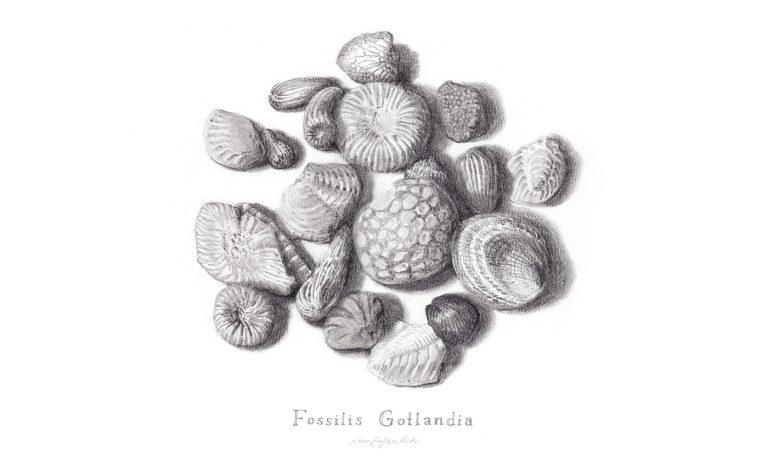 blyertsteckning av gotländska fossiler