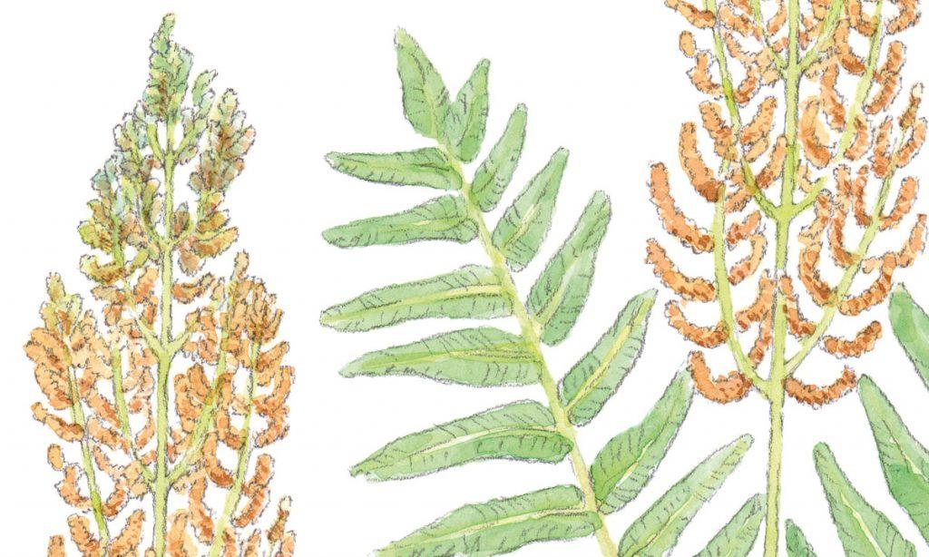 Teckning av en växt