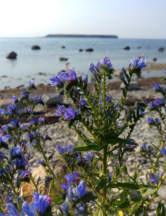 Blåeld blommar på gotländsk strand