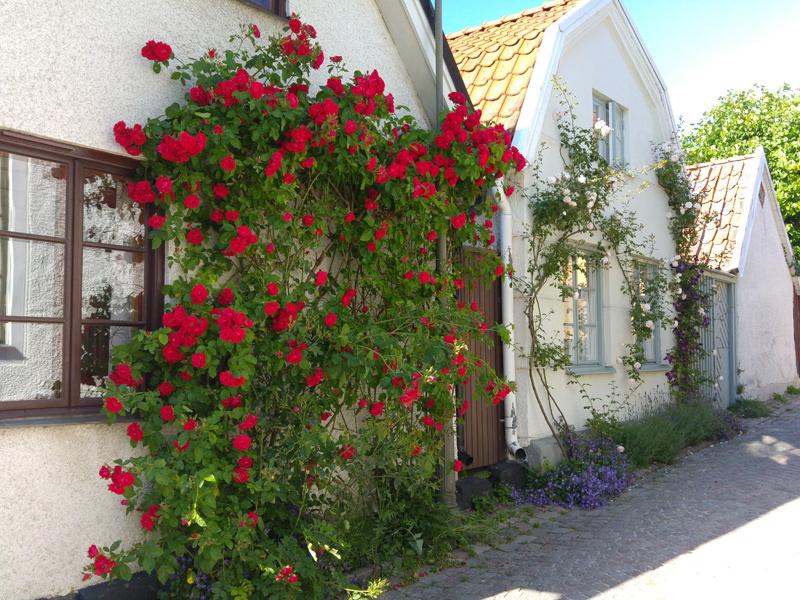 Fantastisk rosenbuske mot husvägg i Visby