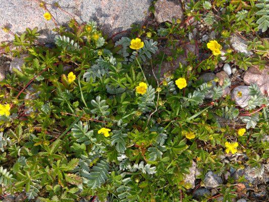 Små gula blommor på gotländsk strand