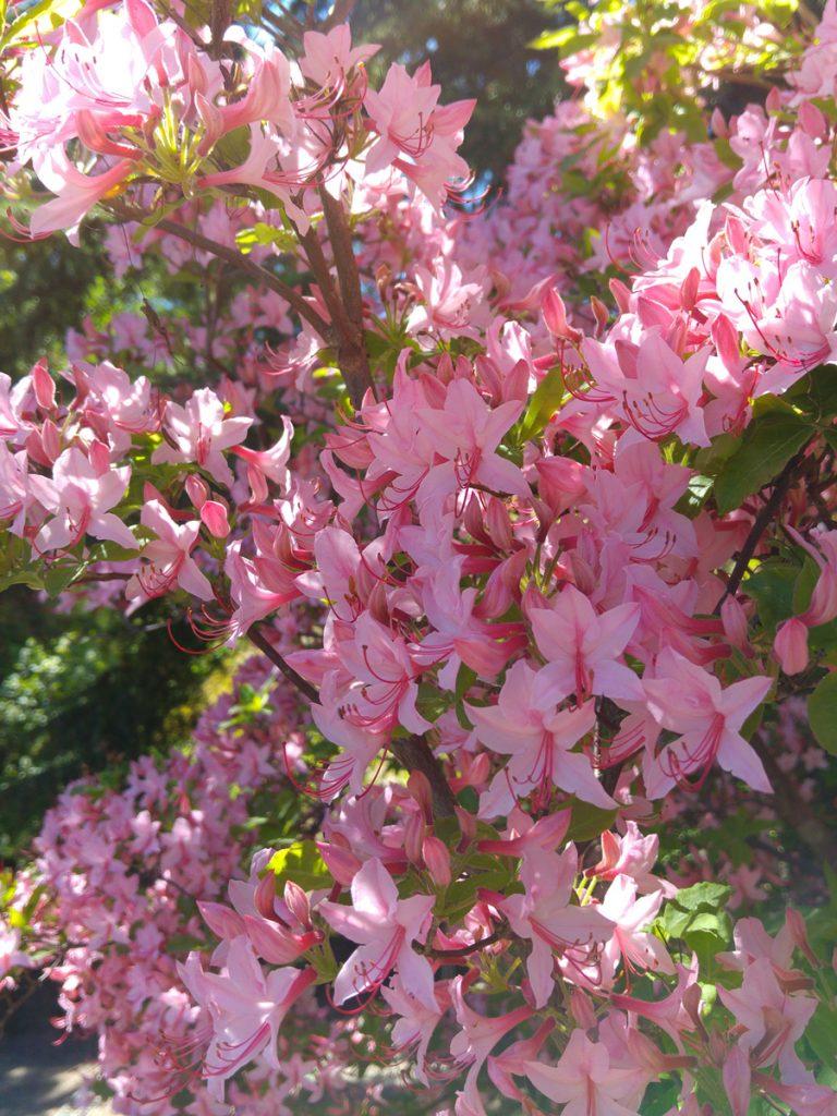 Rhododendronbuske i rosa