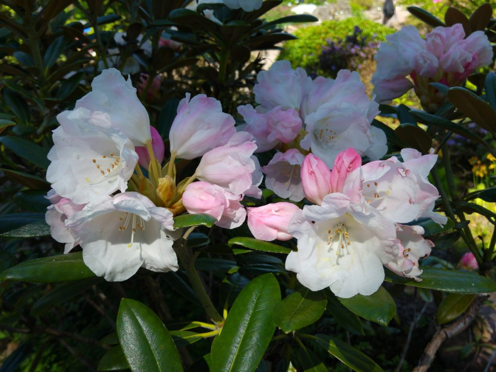 Vit rhododendron i Botaniska