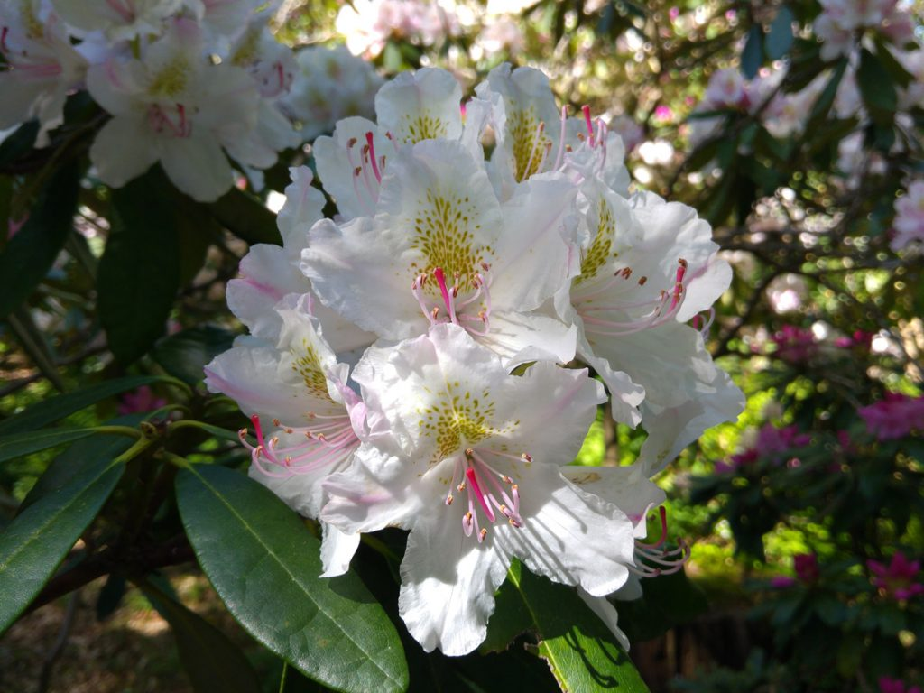 Vit rhododendron