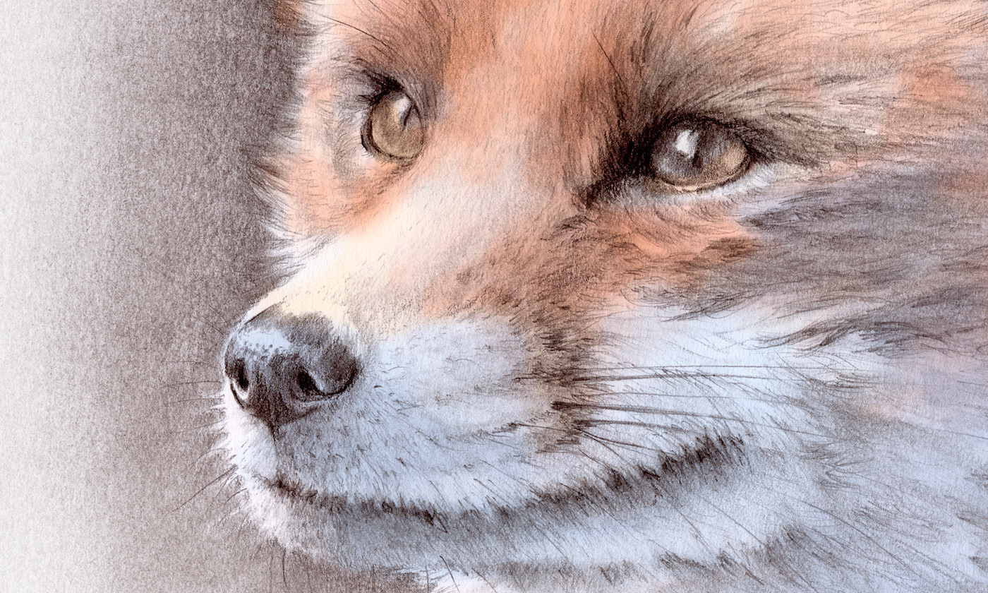detail of my drawing of a red fox