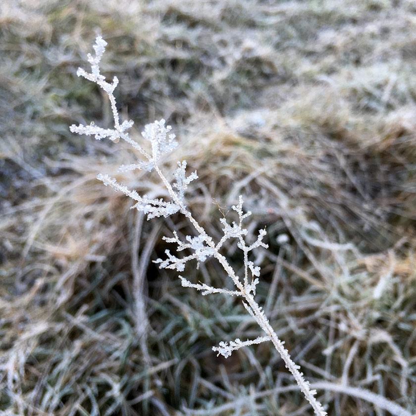 Frostnupen ört gräs strå