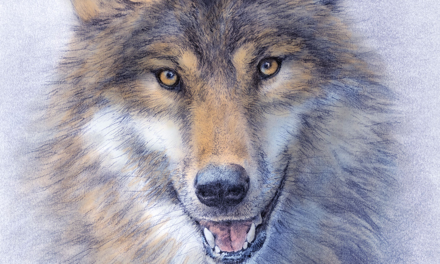 Detail of my wolf drawing