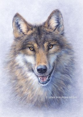Drawing of a swedish wolf