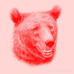 Graphite pencil drawing of a swedish brown bear in red and pink
