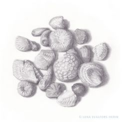 Graphite drawing of small fossils from a swedish beach