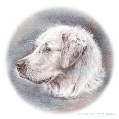Dog portrait pencil drawing of a golden retriever