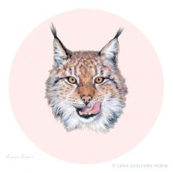 Animal drawing of a swedish Lynx Lynx with round pink background made with colour pencil and gouache